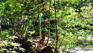 競争する天然木曽檜とヒバの幼樹