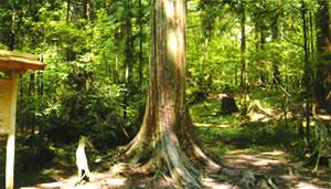 天然木曽檜の大樹