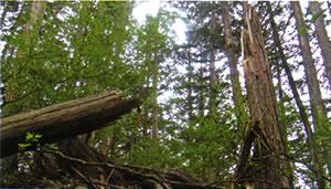 過熟木の自然淘汰